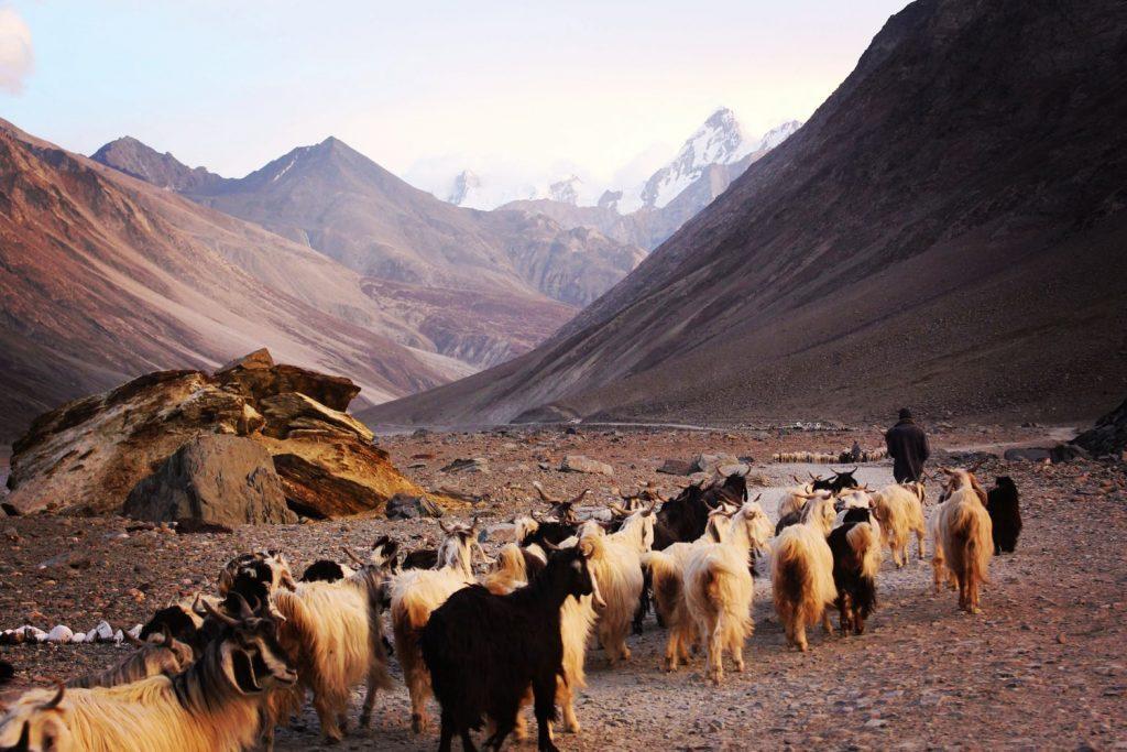 Geder i Himalaya