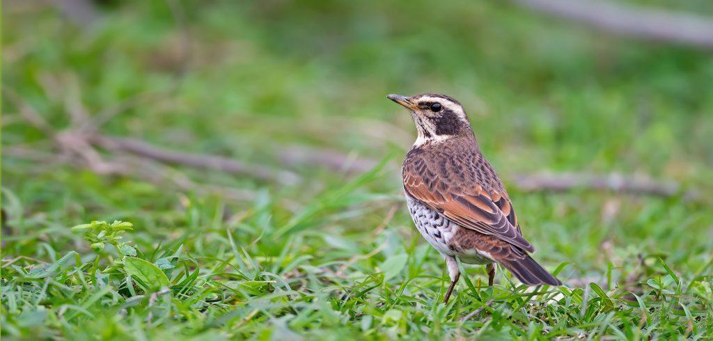 drossel fugl